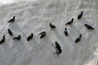 Picture of Birds on the Boudha stupa - Nepal