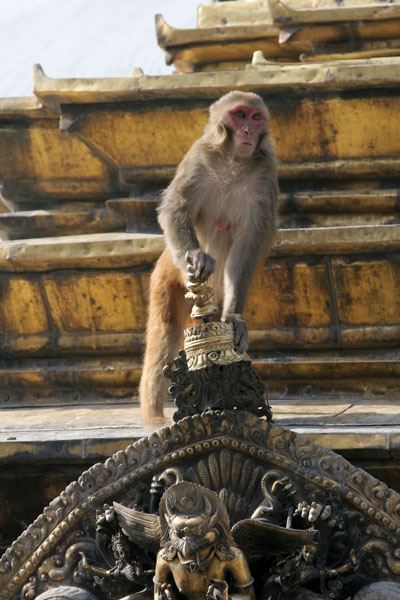 Send picture of Monkey at a temple in Kathmandu from Nepal as a free postcard