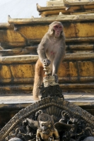 Photo de Monkey at a temple in Kathmandu - Nepal