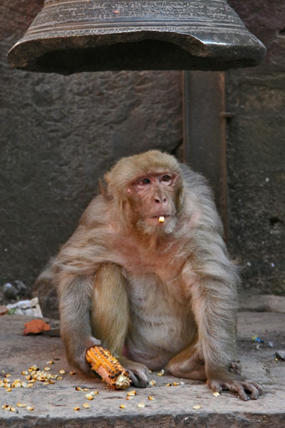 Send picture of Monkey eating corn in Kathmandu from Nepal as a free postcard