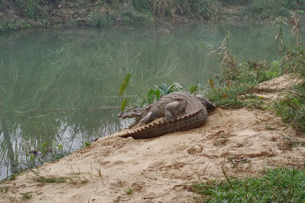Send picture of Crocodile in Chitwan National Park from Nepal as a free postcard