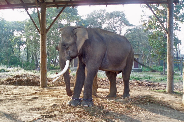 Send picture of Elephant in  Chitwan National Park from Nepal as a free postcard