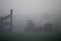 Foto van Dutch sheep in a misty morning - Netherlands