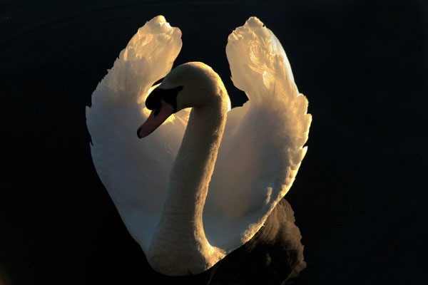 Send picture of White swan in a canal in Leiden from Netherlands as a free postcard