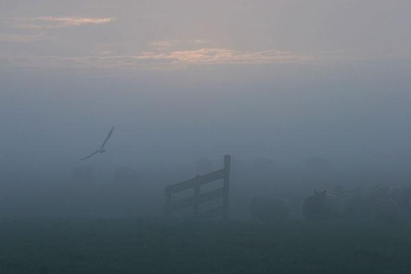 Stuur foto van Sheep and bird in a misty morning van Nederland als een gratis kaart