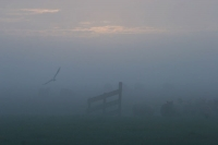 Foto van Sheep and bird in a misty morning - Netherlands