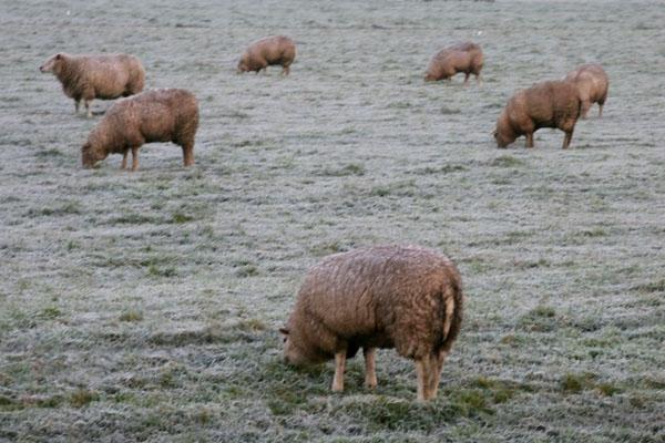 Stuur foto van Sheep grazing on a frosty field van Nederland als een gratis kaart