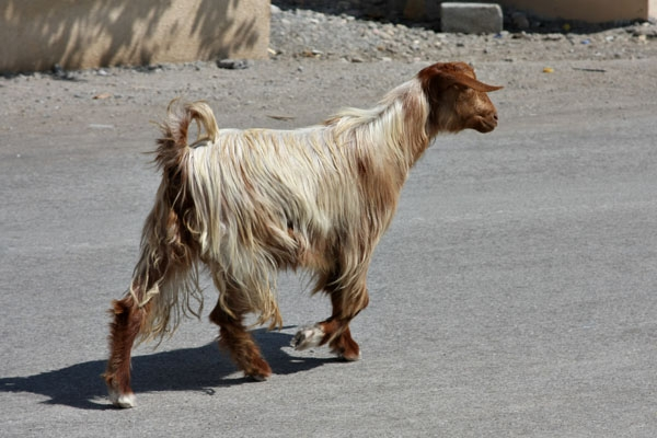 Send picture of Goat in the streets of Qurayat from Oman as a free postcard