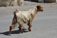 Picture of Animals in Oman