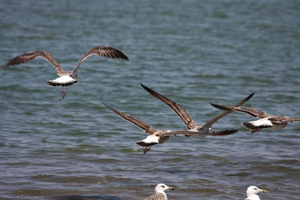 Spedire foto di Seagulls by the sea off Qurayat di Oman come cartolina postale elettronica