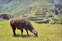 Picture of Lama at Machu Picchu ruins - Peru