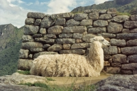 Foto van Lama posing high in the Andes mountains at Machu Picchu ruins - Peru