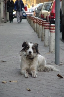 Picture of Romanian street dog - Romania