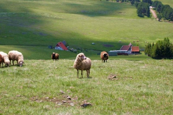 Spedire foto di Sheep in Zlatibor mountain di Serbia come cartolina postale elettronica