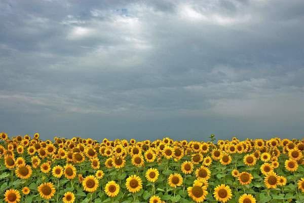 Enviar foto de Sunflower field in Banat, Vojvodina de Serbia como tarjeta postal eletrónica
