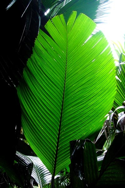 Send picture of Big leaf in Valle de Mai on Praslin from Seychelles as a free postcard
