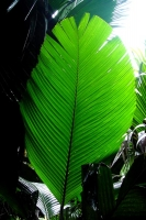 Picture of Big leaf in Vallée de Mai on Praslin - Seychelles