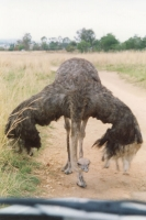 Foto de Ostrich in Pilanesberg Park in northern South Africa - South Africa