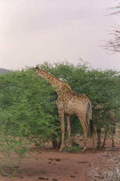 Envoyer photo de Giraffe in Pilanesberg Park de Afrique du Sud comme carte postale &eacute;lectronique