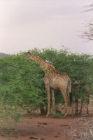 Foto van Giraffe in Pilanesberg Park - South Africa