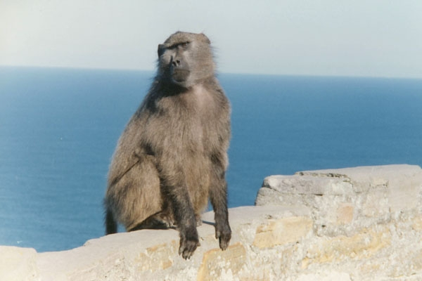 Spedire foto di Monkey on a rock near Cape of Good Hope di Africa del Sud come cartolina postale elettronica