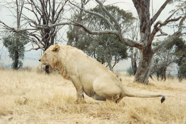 Send picture of Lion in a lion park near Johannesberg from South Africa as a free postcard