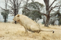 Foto de Lion in a lion park near Johannesberg - South Africa