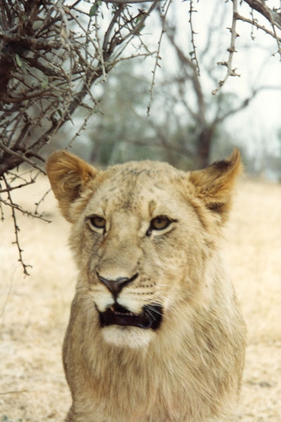 Send picture of Lion in lion park near Johannesberg from South Africa as a free postcard