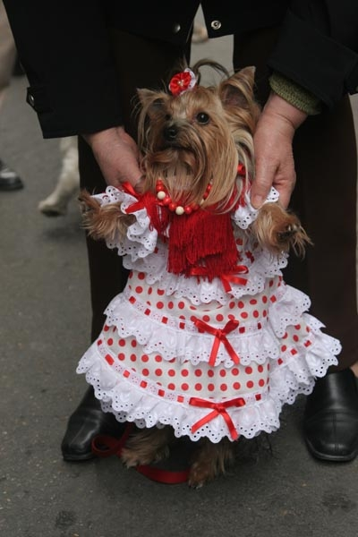 Dog waiting to be blessed on San Anton Day