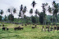 Foto van Elephants at an elephant orphanage - Sri Lanka