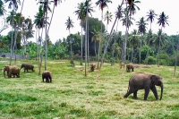 Picture of Elephants living in an orphanage - Sri Lanka