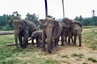 Foto di Sri Lanka elephants - Sri Lanka