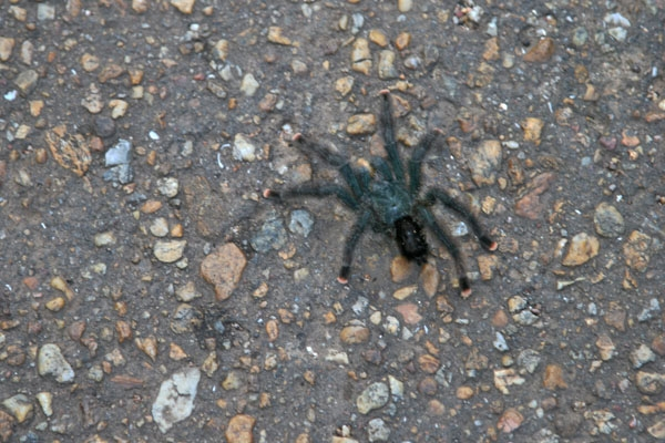 Send picture of Tarantula in Surinam from Surinam as a free postcard