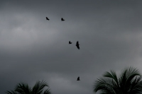 Foto di Birds flying in a dark sky - Surinam