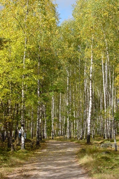 Stuur foto van Swedish forest with birch trees in autumn van Zweden als een gratis kaart