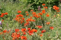Picture of Swedish summer flowers - Sweden