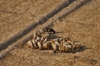 Foto di Sheep in northern Syria - Syria