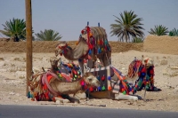 Picture of Dressed up Syrian camels - Syria