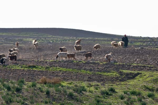 Send picture of Shepherd tending his sheep near Apamea from Syria as a free postcard