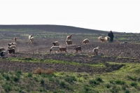 Foto van Shepherd tending his sheep near Apamea - Syria