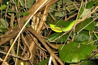 Foto di Bamboo green viper found at night at so-called Monkey Mountain of Kaohsiung city - Taiwan