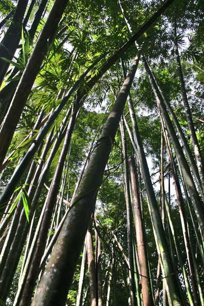 Send picture of Bamboo trees in Raman forest from Thailand as a free postcard