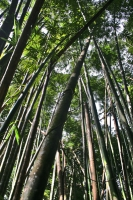 Photo de Bamboo trees in Raman forest - Thailand