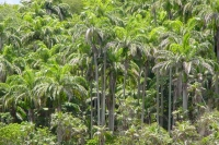 Foto van Palm tree forest in Trinidad - Trinidad & Tobago
