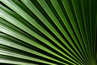 Foto van Close-up of palm leaf - Trinidad & Tobago