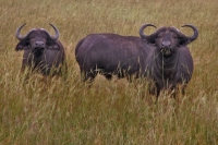 Foto van Buffaloes in Queen Elizabeth National Park - Uganda