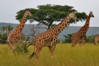 Foto van Giraffes in Queen Elizabeth National Park - Uganda