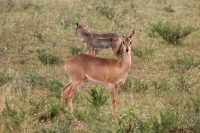 Foto van Impala and black-backed jackal in Queen Elizabeth National Park - Uganda