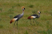 Foto van The crested crane is the national bird of Uganda - Uganda