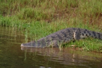Foto van Crocodile going for a dip in the Nile River - Uganda
